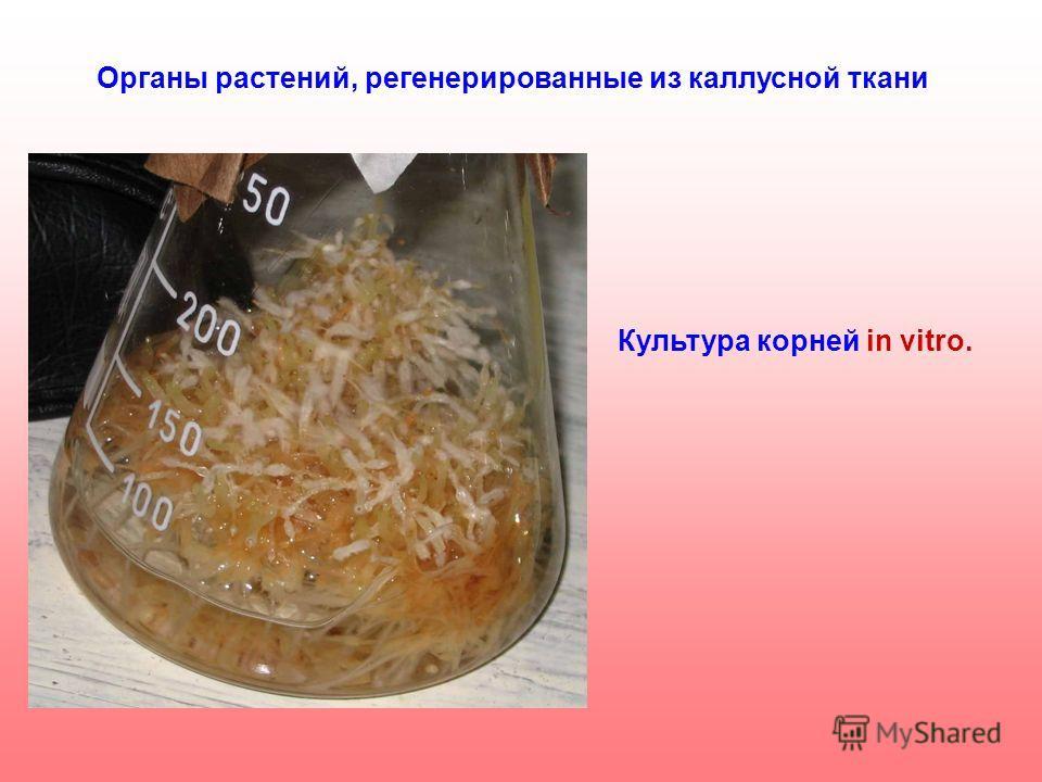 Органы растений, регенерированные из каллусной ткани Культура корней in vitro.