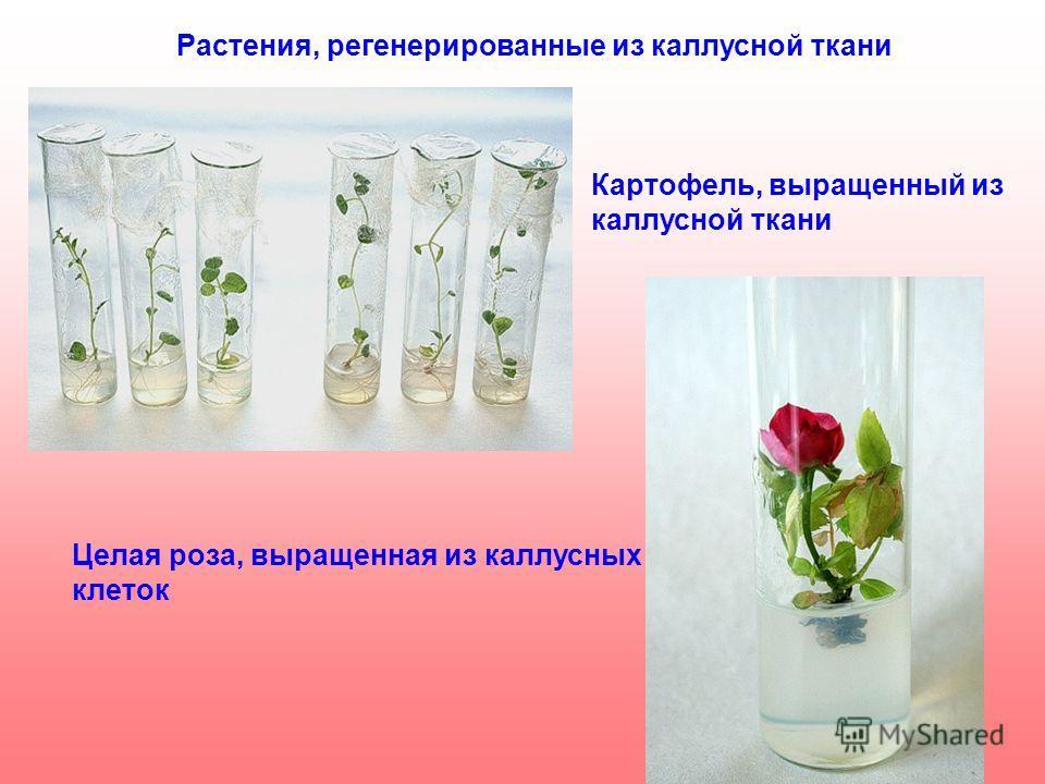 Растения, регенерированные из каллусной ткани Картофель, выращенный из каллусной ткани Целая роза, выращенная из каллусных клеток