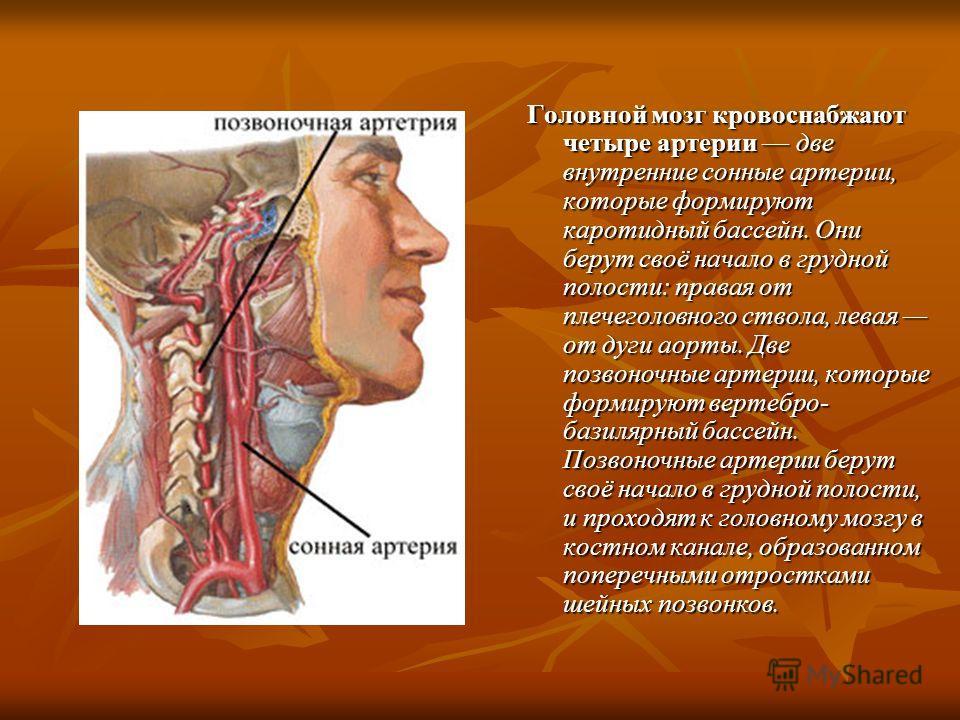 Головной мозг кровоснабжают четыре артерии две внутренние сонные артерии, которые формируют каротидный бассейн. Они берут своё начало в грудной полости: правая от плечеголовного ствола, левая от дуги аорты. Две позвоночные артерии, которые формируют