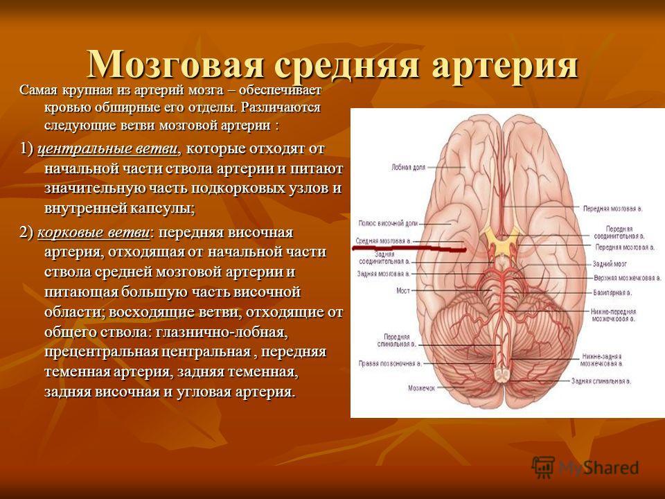 Мозговая средняя артерия Самая крупная из артерий мозга – обеспечивает кровью обширные его отделы. Различаются следующие ветви мозговой артерии : 1) центральные ветви, которые отходят от начальной части ствола артерии и питают значительную часть подк