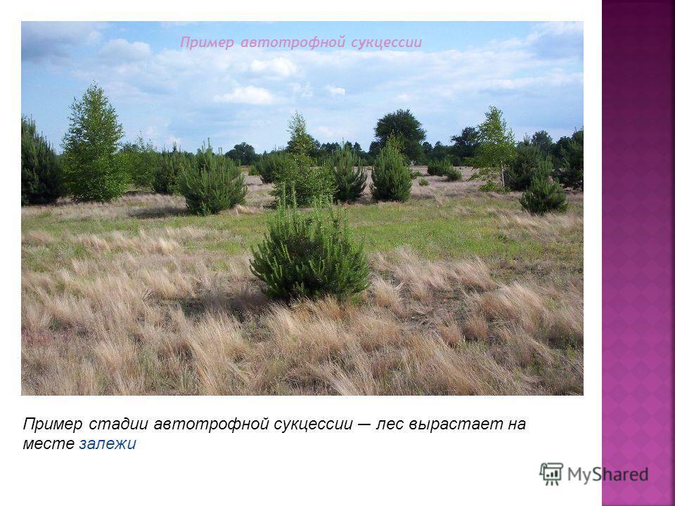 Пример стадии автотрофной сукцессии лес вырастает на месте залежи