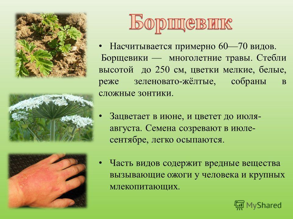 Насчитывается примерно 6070 видов. Борщевики многолетние травы. Стебли высотой до 250 см, цветки мелкие, белые, реже зеленовато-жёлтые, собраны в сложные зонтики. Зацветает в июне, и цветет до июля- августа. Семена созревают в июле- сентябре, легко о