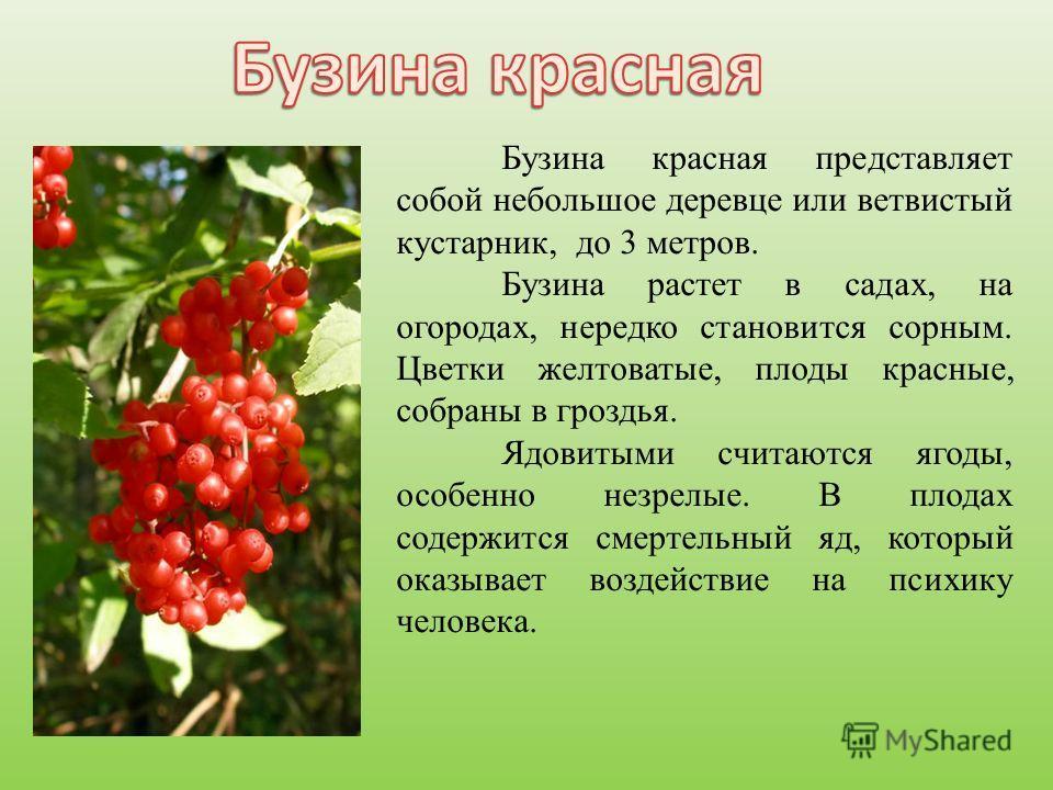 Бузина красная представляет собой небольшое деревце или ветвистый кустарник, до 3 метров. Бузина растет в садах, на огородах, нередко становится сорным. Цветки желтоватые, плоды красные, собраны в гроздья. Ядовитыми считаются ягоды, особенно незрелые