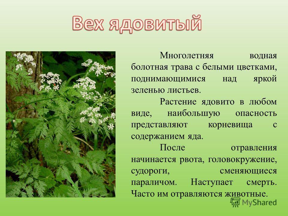 Многолетняя водная болотная трава с белыми цветками, поднимающимися над яркой зеленью листьев. Растение ядовито в любом виде, наибольшую опасность представляют корневища с содержанием яда. После отравления начинается рвота, головокружение, судороги,