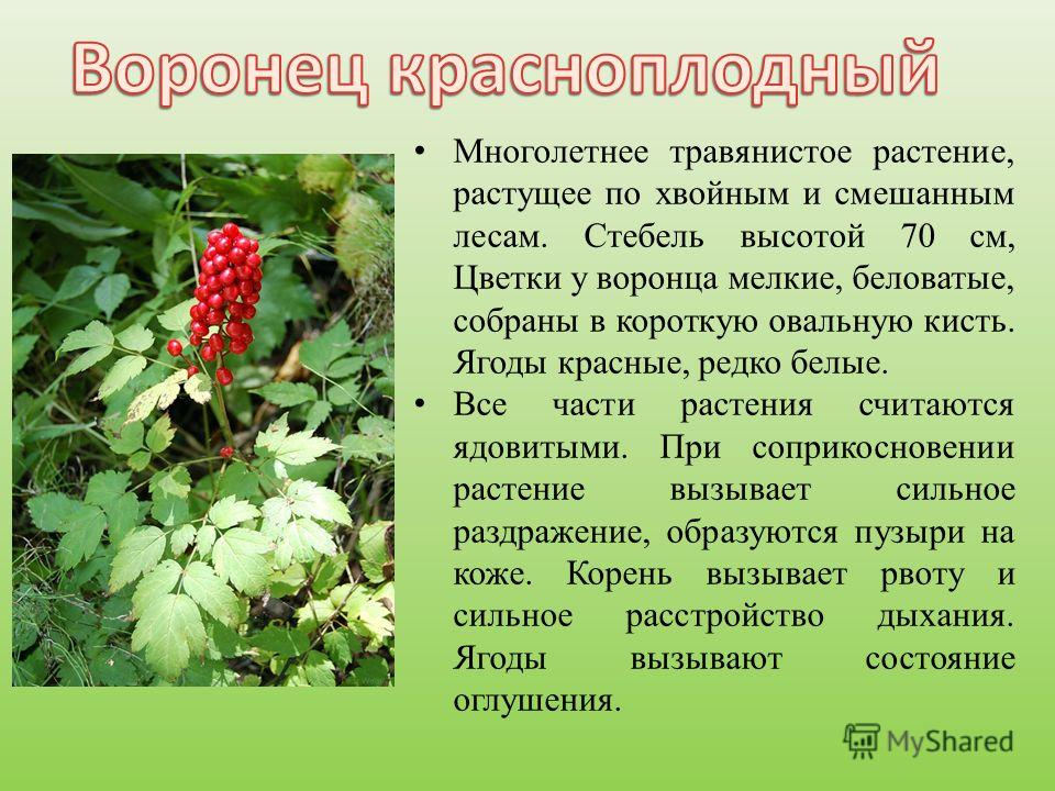 Многолетнее травянистое растение, растущее по хвойным и смешанным лесам. Стебель высотой 70 см, Цветки у воронца мелкие, беловатые, собраны в короткую овальную кисть. Ягоды красные, редко белые. Все части растения считаются ядовитыми. При соприкоснов