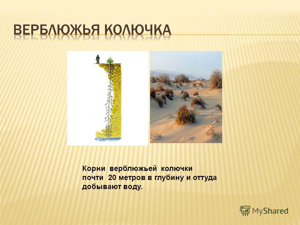 Корни верблюжьей колючки почти 20 метров в глубину и оттуда добывают воду.