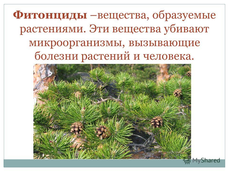 Фитонциды –вещества, образуемые растениями. Эти вещества убивают микроорганизмы, вызывающие болезни растений и человека.