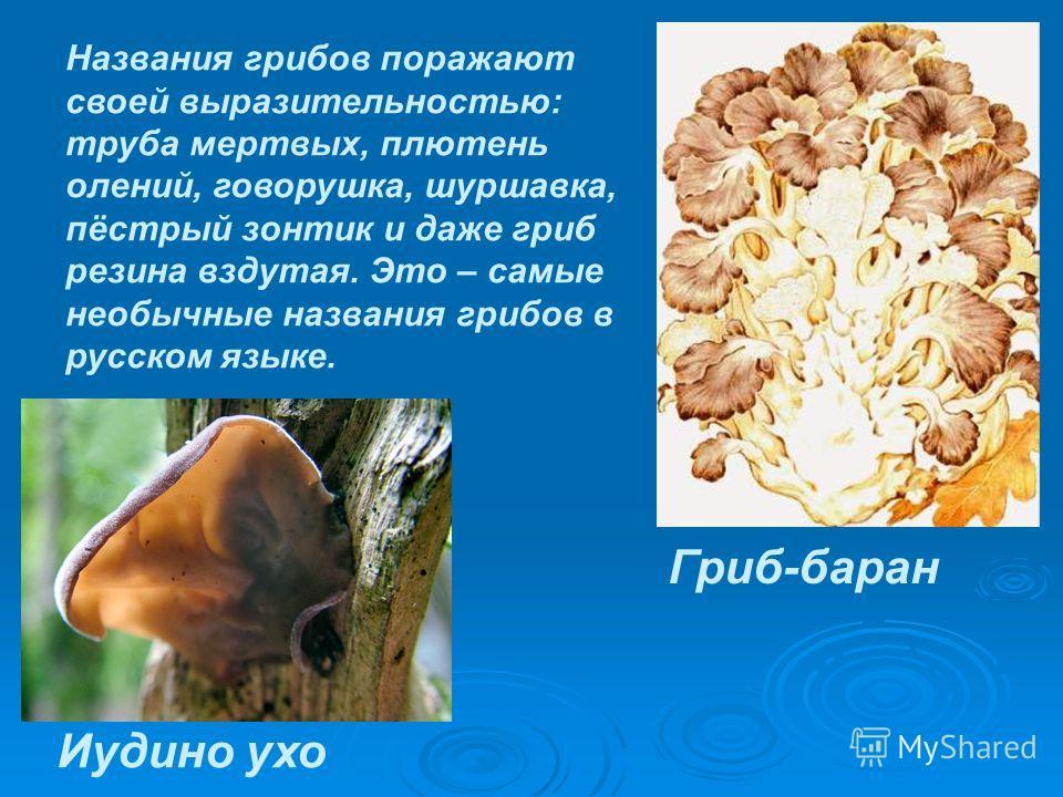 Названия грибов поражают своей выразительностью: труба мертвых, плютень олений, говорушка, шуршавка, пёстрый зонтик и даже гриб резина вздутая. Это – самые необычные названия грибов в русском языке. Иудино ухо Гриб-баран