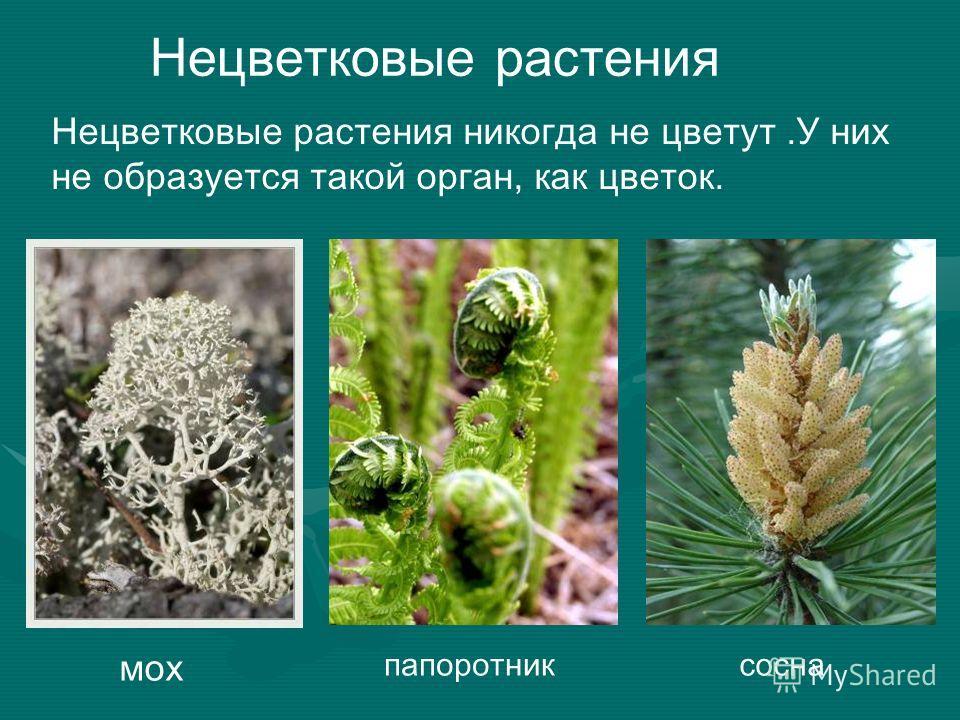 Нецветковые растения Нецветковые растения никогда не цветут.У них не образуется такой орган, как цветок. мох папоротниксосна