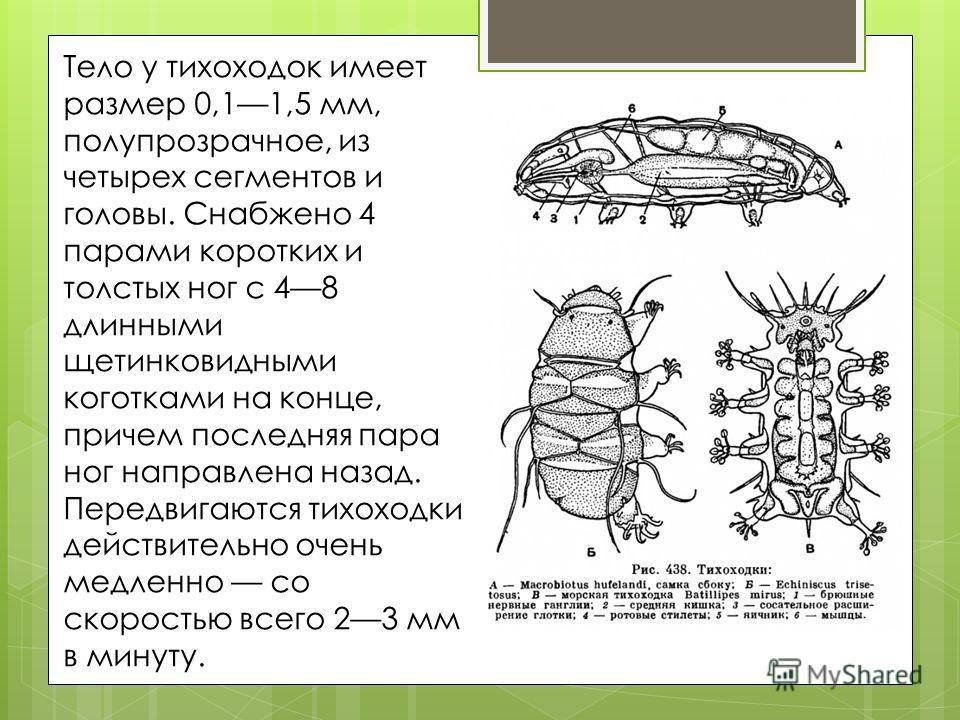 Тело у тихоходок имеет размер 0,11,5 мм, полупрозрачное, из четырех сегментов и головы. Снабжено 4 парами коротких и толстых ног с 48 длинными щетинковидными коготками на конце, причем последняя пара ног направлена назад. Передвигаются тихоходки дейс