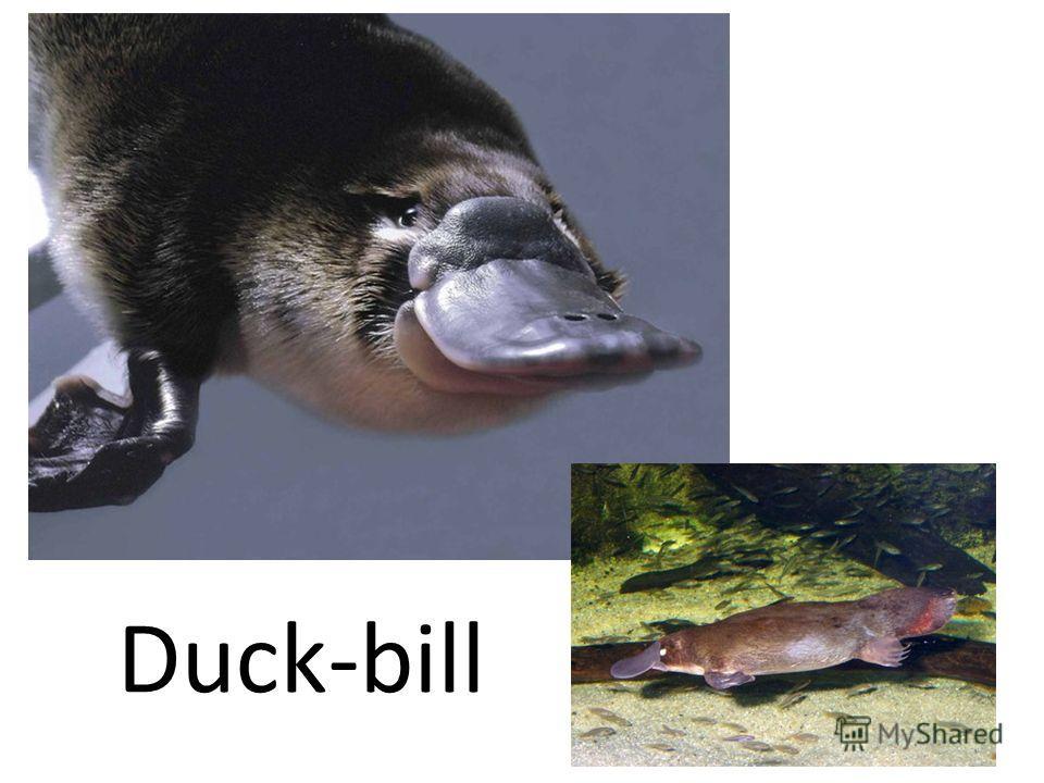 Duck-bill
