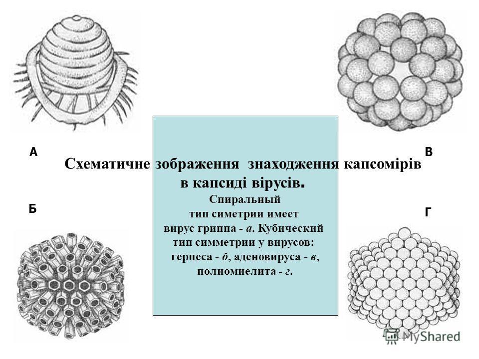 Схематичне зображення знаходження капсомірів в капсиді вірусів. Спиральный тип симетрии имеет вирус гриппа - а. Кубический тип симметрии у вирусов: герпеса - б, аденовируса - в, полиомиелита - г. А Б В Г
