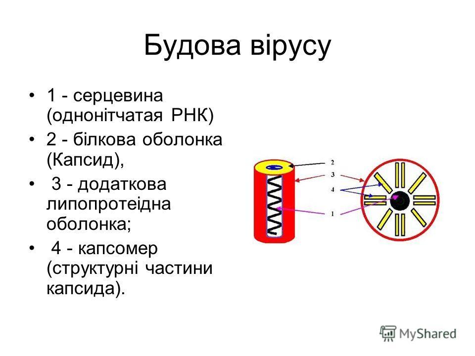 Будова вірусу 1 - серцевина (однонітчатая РНК) 2 - білкова оболонка (Капсид), 3 - додаткова липопротеідна оболонка; 4 - капсомер (структурні частини к