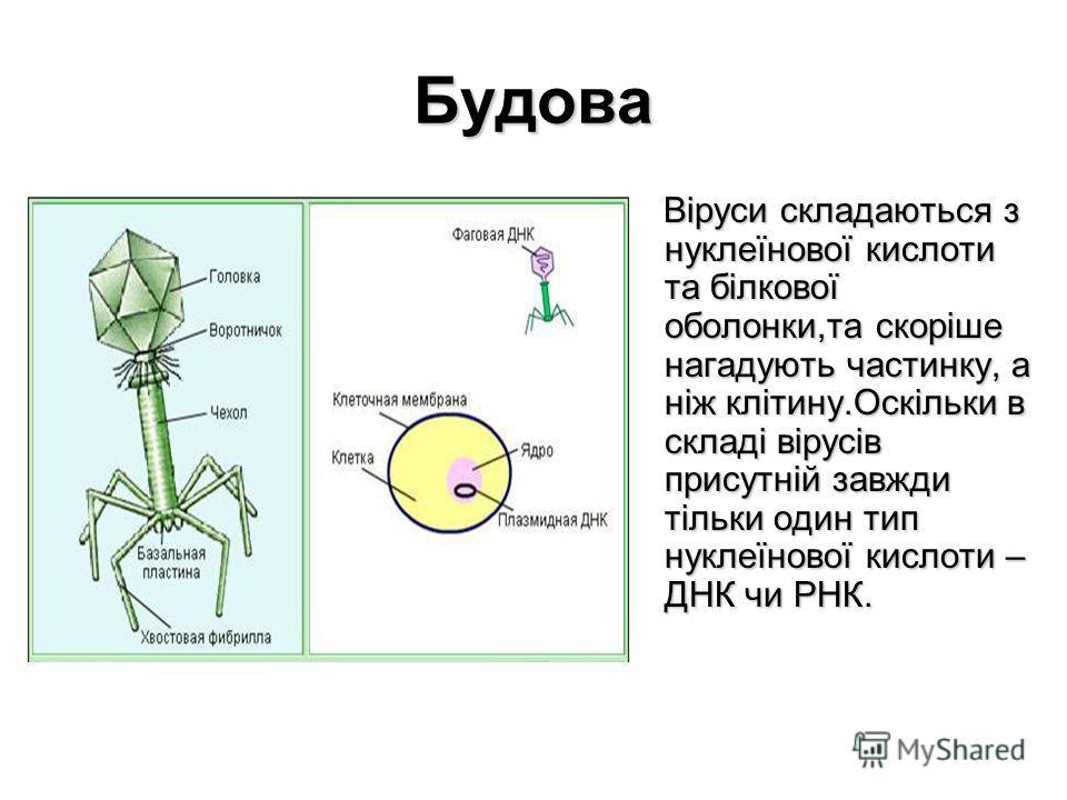 Будова Віруси складаються з нуклеїнової кислоти та білкової оболонки,та скоріше нагадують частинку, а ніж клітину.Оскільки в складі вірусів присутній завжди тільки один тип нуклеїнової кислоти – ДНК чи РНК. Віруси складаються з нуклеїнової кислоти та