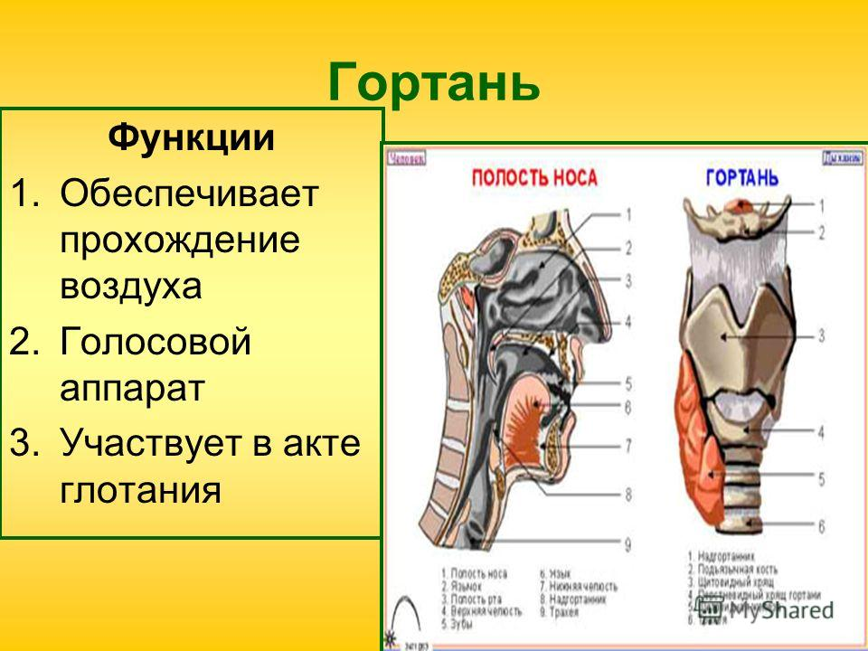 Гортань Функции 1.Обеспечивает прохождение воздуха 2.Голосовой аппарат 3.Участвует в акте глотания