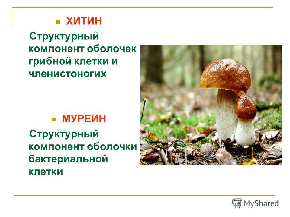 ХИТИН Структурный компонент оболочек грибной клетки и членистоногих МУРЕИН Структурный компонент оболочки бактериальной клетки
