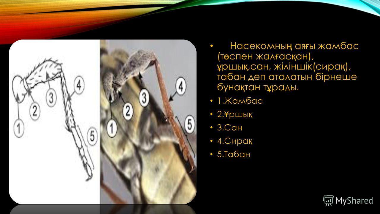 Насекомны ң ая ғ ы жамбас (т ө спен жал ғ ас қ ан), ұ ршы қ,сан, жіліншік(сира қ ), табан деп аталатын бірнеше буна қ тан т ұ рады. 1.Жамбас 2. Ұ ршы қ 3.Сан 4.Сира қ 5.Табан