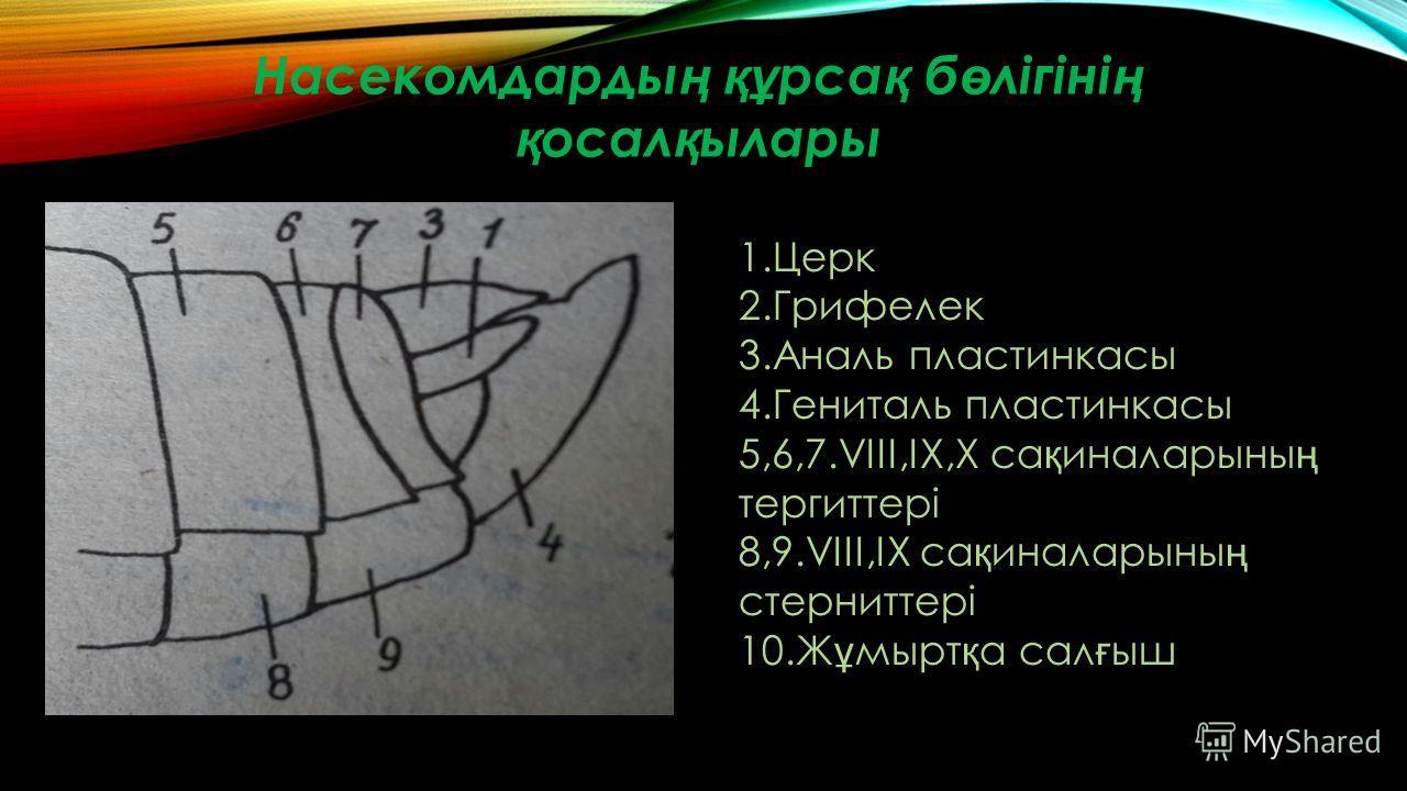 Насекомдарды ң құ рса қ б ө лігіні ң қ осал қ ылары 1.Церк 2.Грифелек 3.Аналь пластинкасы 4.Гениталь пластинкасы 5,6,7.VIII,IX,X са қ иналарыны ң тергиттері 8,9.VIII,IX са қ иналарыны ң стерниттері 10.Ж ұ мырт қ а сал ғ ыш