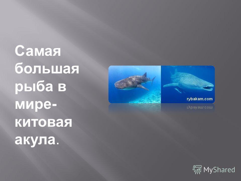 Самая большая рыба в мире- китовая акула.