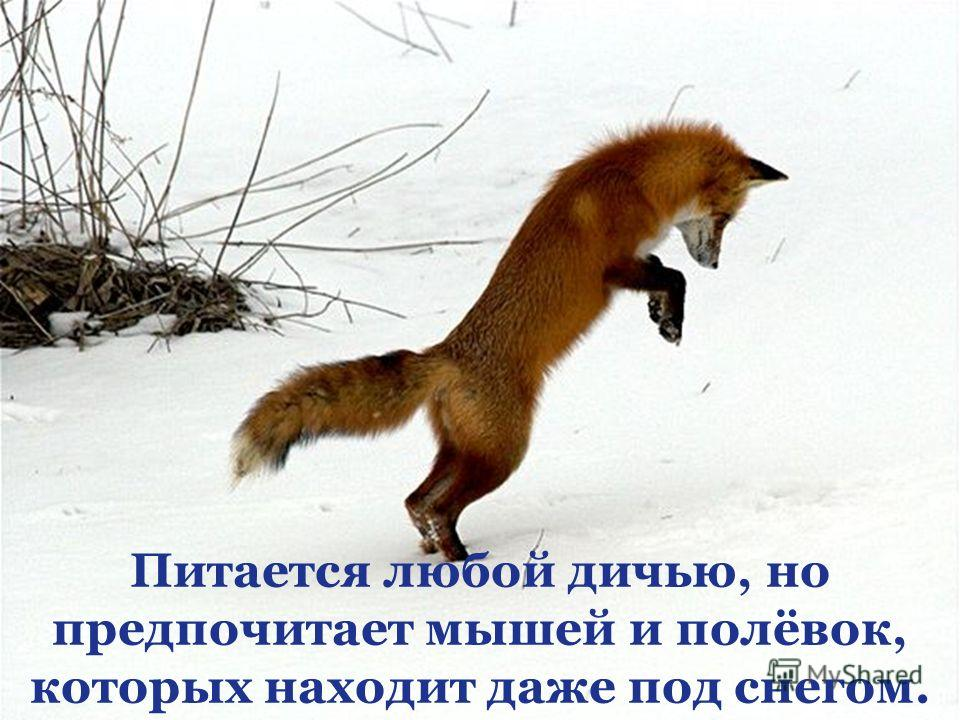 Питается любой дичью, но предпочитает мышей и полёвок, которых находит даже под снегом.