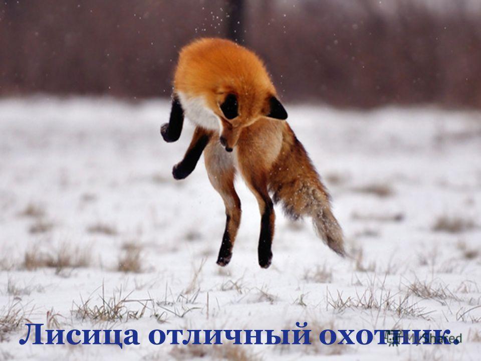 Лисица отличный охотник.