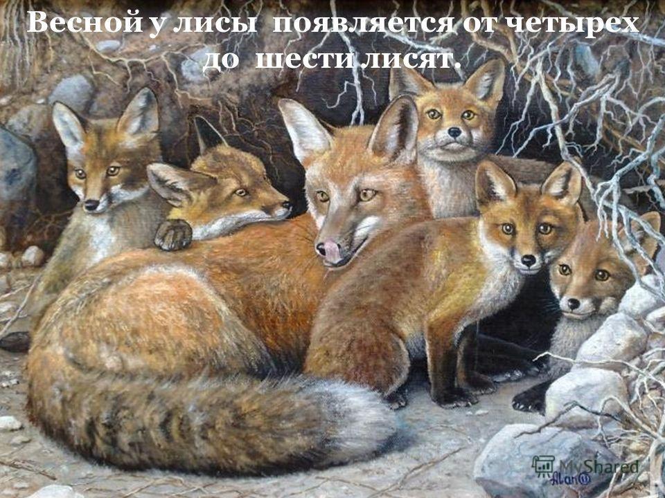 Весной у лисы появляется от четырех до шести лисят.