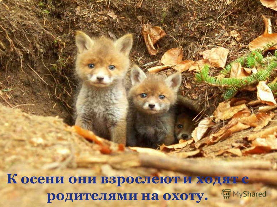 К осени они взрослеют и ходят с родителями на охоту.