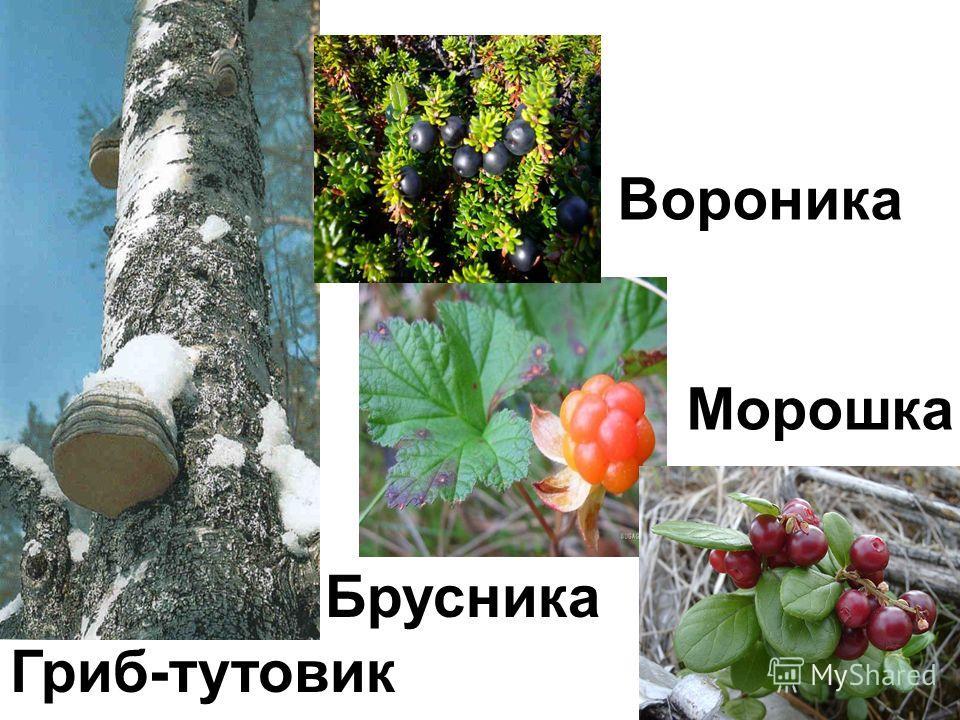 17 Вороника Морошка Брусника Гриб-тутовик