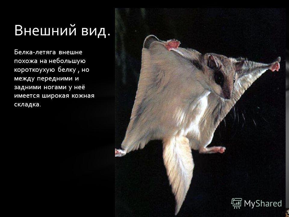 Белка-летяга внешне похожа на небольшую короткоухую белку, но между передними и задними ногами у неё имеется широкая кожная складка. Внешний вид.