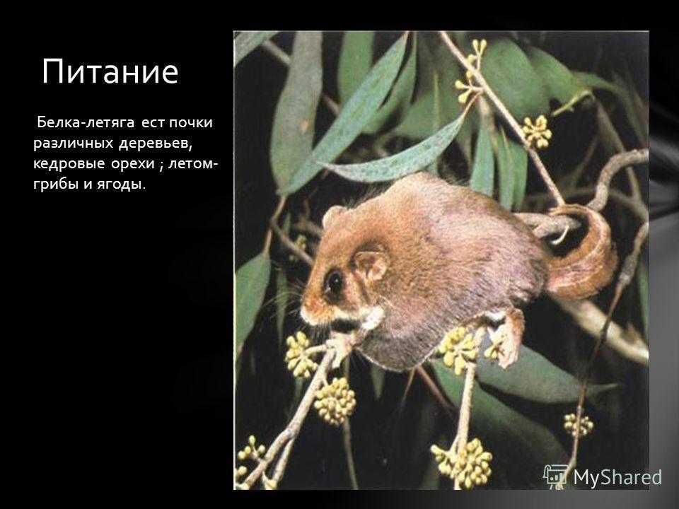 Белка-летяга ест почки различных деревьев, кедровые орехи ; летом- грибы и ягоды. Питание