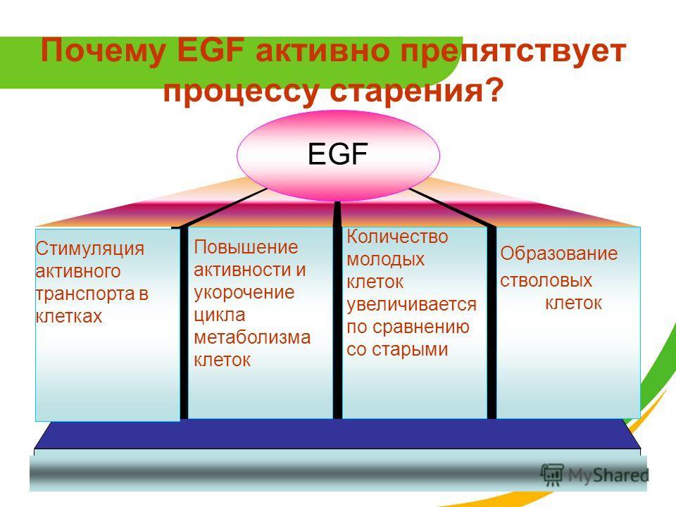 EGF Стимуляция активного транспорта в клетках Повышение активности и укорочение цикла метаболизма клеток Количество молодых клеток увеличивается по сравнению со старыми Образование стволовых клеток Почему EGF активно препятствует процессу старения?