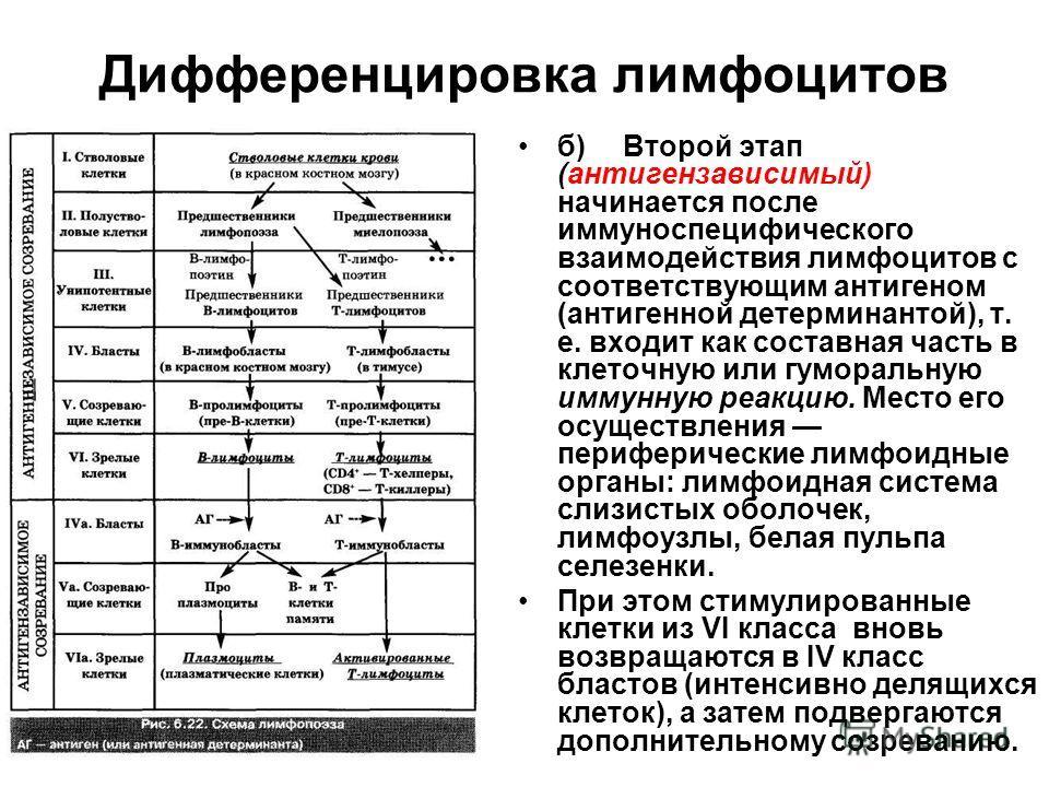 Дифференцировка лимфоцитов б)Второй этап (антигензависимый) начинается после иммуноспецифического взаимодействия лимфоцитов с соответствующим антигеном (антигенной детерминантой), т. е. входит как составная часть в клеточную или гуморальную иммунную