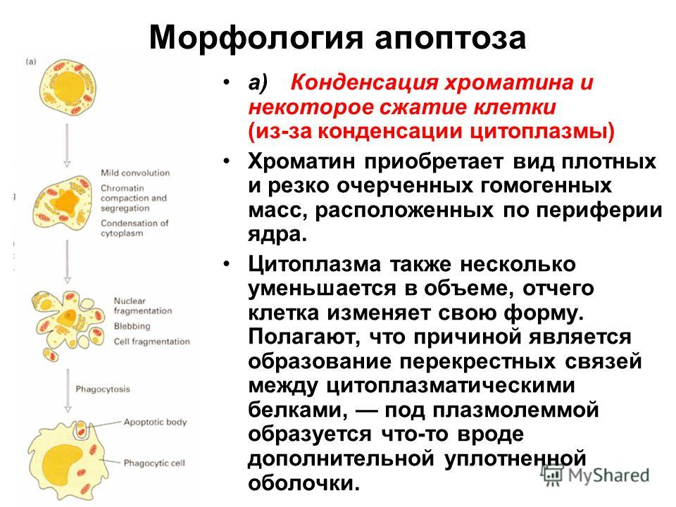 Морфология апоптоза а)Конденсация хроматина и некоторое сжатие клетки (из-за конденсации цитоплазмы) Хроматин приобретает вид плотных и резко очерченных гомогенных масс, расположенных по периферии ядра. Цитоплазма также несколько уменьшается в объеме