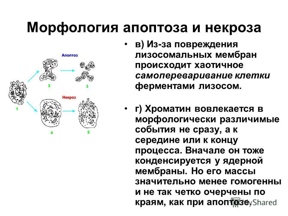 Морфология апоптоза и некроза в) Из-за повреждения лизосомальных мембран происходит хаотичное самопереваривание клетки ферментами лизосом. г) Хроматин вовлекается в морфологически различимые события не сразу, а к середине или к концу процесса. Вначал