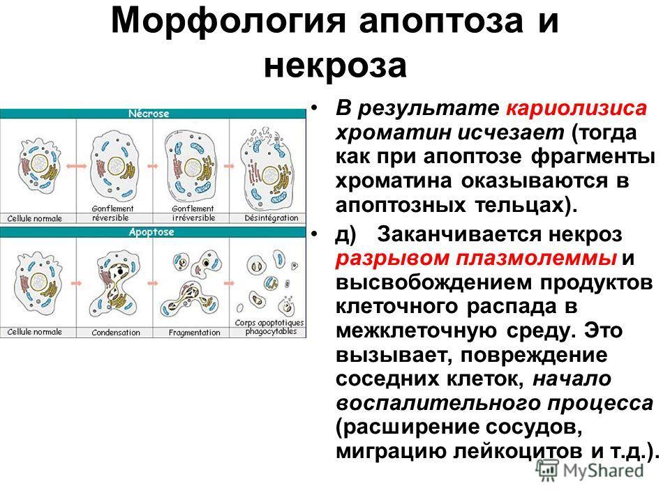 Морфология апоптоза и некроза В результате кариолизиса хроматин исчезает (тогда как при апоптозе фрагменты хроматина оказываются в апоптозных тельцах). д)Заканчивается некроз разрывом плазмолеммы и высвобождением продуктов клеточного распада в межкле