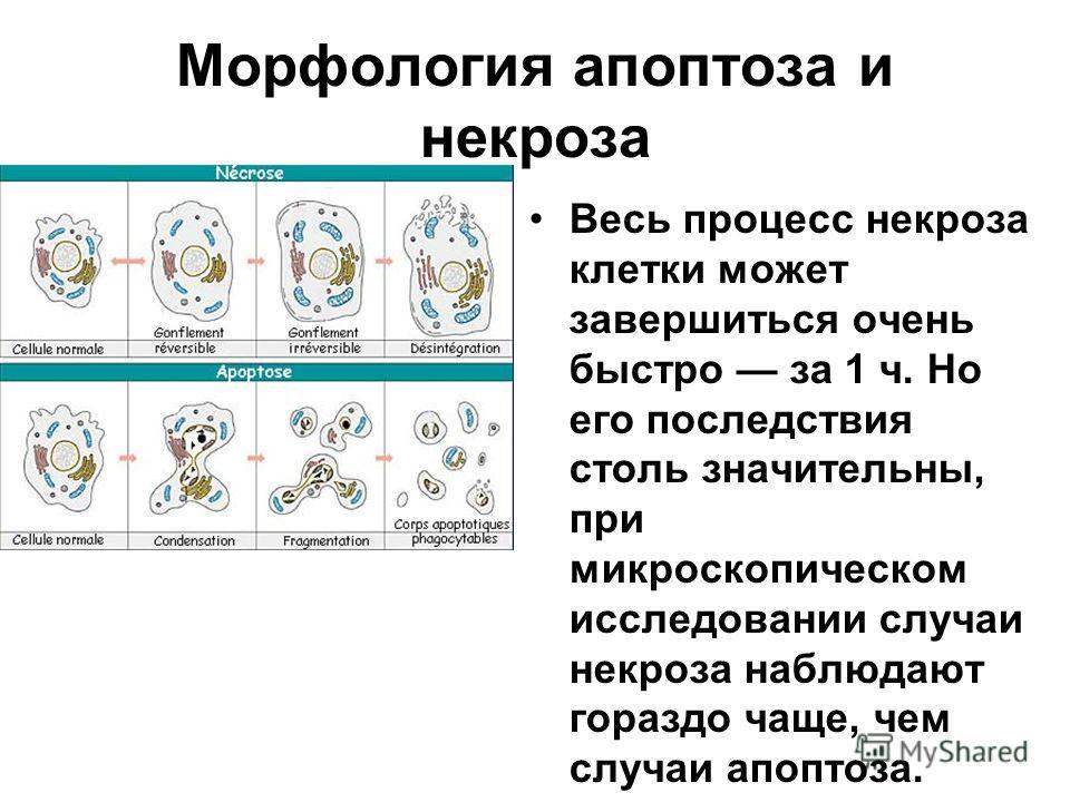 Морфология апоптоза и некроза Весь процесс некроза клетки может завершиться очень быстро за 1 ч. Но его последствия столь значительны, при микроскопическом исследовании случаи некроза наблюдают гораздо чаще, чем случаи апоптоза.