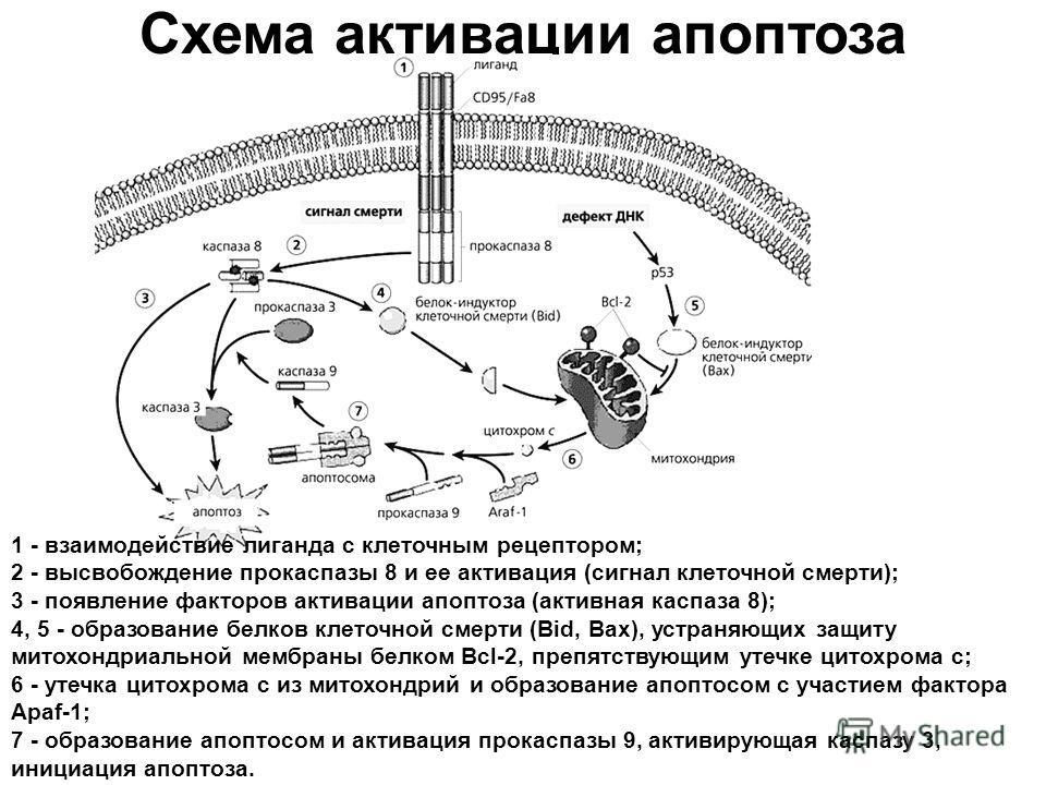 Схема активации апоптоза 1 - взаимодействие лиганда с клеточным рецептором; 2 - высвобождение прокаспазы 8 и ее активация (сигнал клеточной смерти); 3 - появление факторов активации апоптоза (активная каспаза 8); 4, 5 - образование белков клеточной с