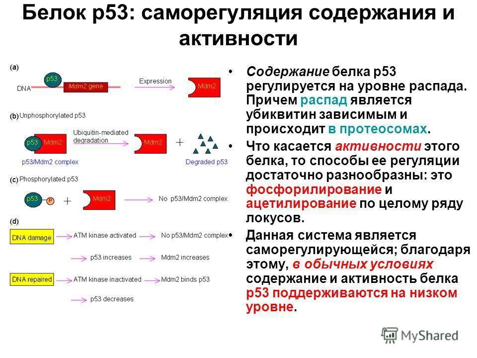 Белок р53: саморегуляция содержания и активности Содержание белка р53 регулируется на уровне распада. Причем распад является убиквитин зависимым и происходит в протеосомах. Что касается активности этого белка, то способы ее регуляции достаточно разно