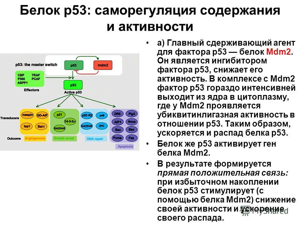Белок р53: саморегуляция содержания и активности а) Главный сдерживающий агент для фактора р53 белок Mdm2. Он является ингибитором фактора р53, снижает его активность. В комплексе с Mdm2 фактор р53 гораздо интенсивней выходит из ядра в цитоплазму, гд