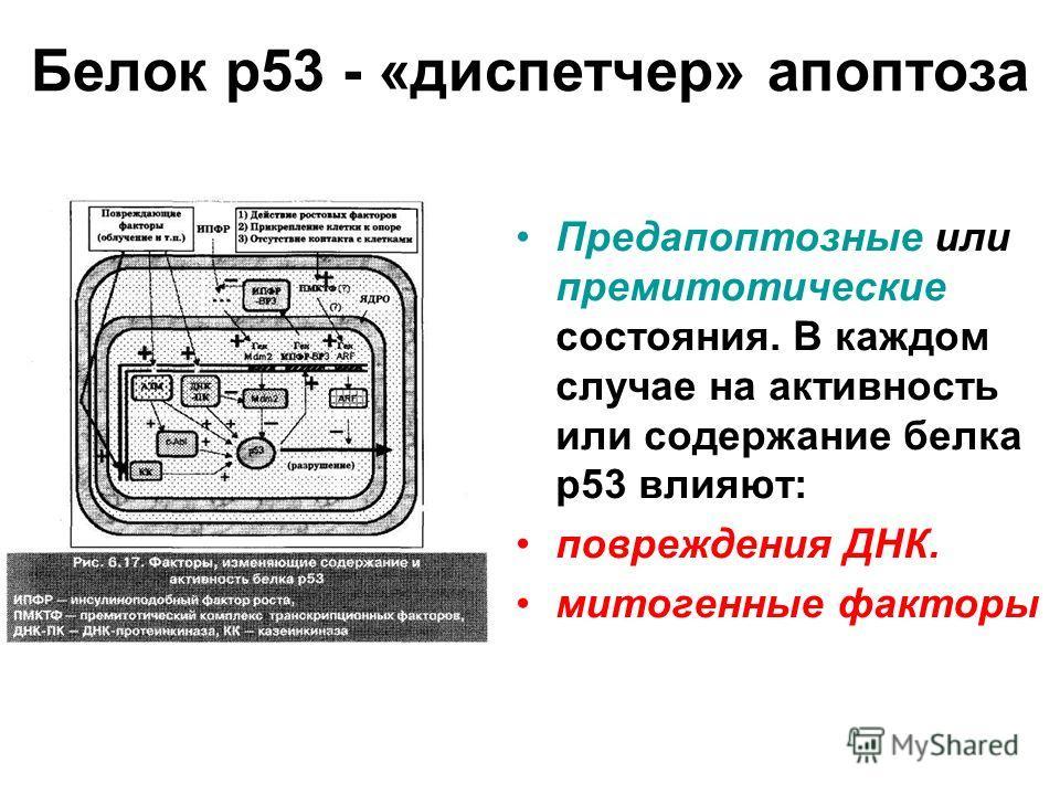 Белок р53 - «диспетчер» апоптоза Предапоптозные или премитотические состояния. В каждом случае на активность или содержание белка р53 влияют: повреждения ДНК. митогенные факторы