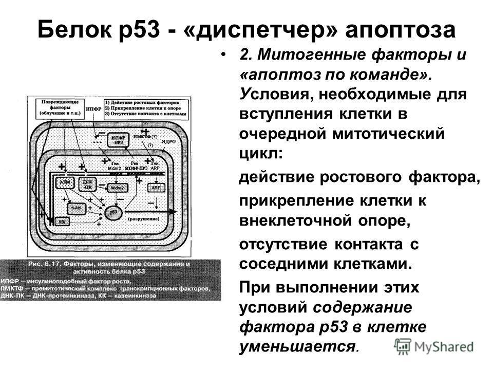 Белок р53 - «диспетчер» апоптоза 2. Митогенные факторы и «апоптоз по команде». Условия, необходимые для вступления клетки в очередной митотический цикл: действие ростового фактора, прикрепление клетки к внеклеточной опоре, отсутствие контакта с сосед