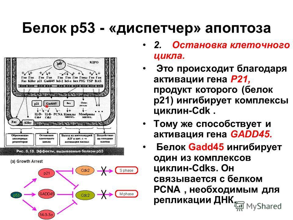 Белок р53 - «диспетчер» апоптоза 2.Остановка клеточного цикла. Это происходит благодаря активации гена Р21, продукт которого (белок р21) ингибирует комплексы циклин-Cdk. Тому же способствует и активация гена GADD45. Белок Gadd45 ингибирует один из ко