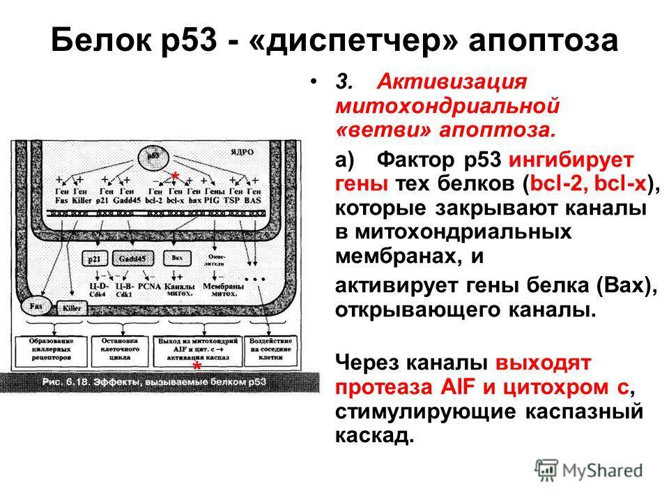 Белок р53 - «диспетчер» апоптоза 3.Активизация митохондриальной «ветви» апоптоза. а)Фактор р53 ингибирует гены тех белков (bcl-2, bcl-x), которые закрывают каналы в митохондриальных мембранах, и активирует гены белка (Bах), открывающего каналы. Через