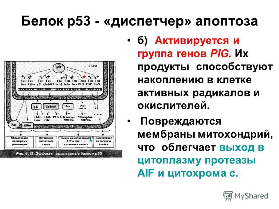 Белок р53 - «диспетчер» апоптоза б)Активируется и группа генов PIG. Их продукты способствуют накоплению в клетке активных радикалов и окислителей. Повреждаются мембраны митохондрий, что облегчает выход в цитоплазму протеазы AIF и цитохрома с. * *