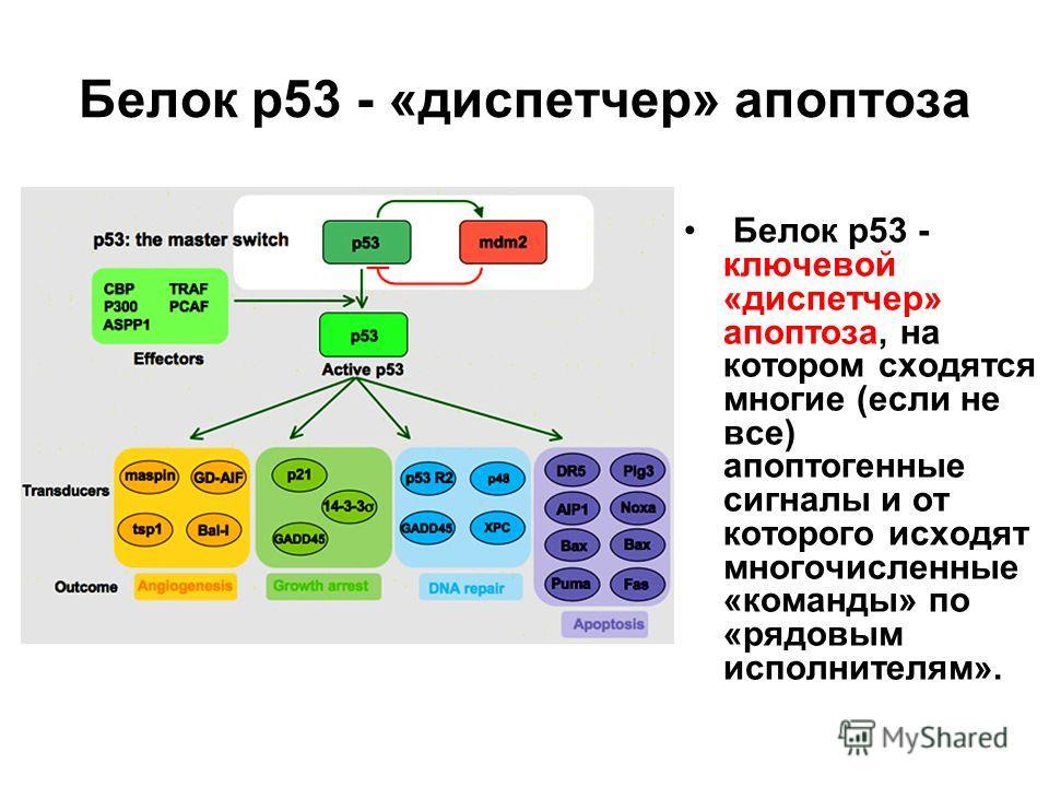 Белок р53 - «диспетчер» апоптоза Белок р53 - ключевой «диспетчер» апоптоза, на котором сходятся многие (если не все) апоптогенные сигналы и от которого исходят многочисленные «команды» по «рядовым исполнителям».