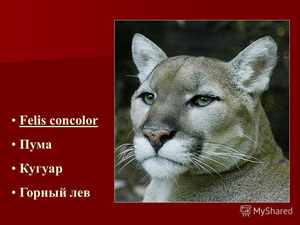 Felis concolor Пума Кугуар Горный лев