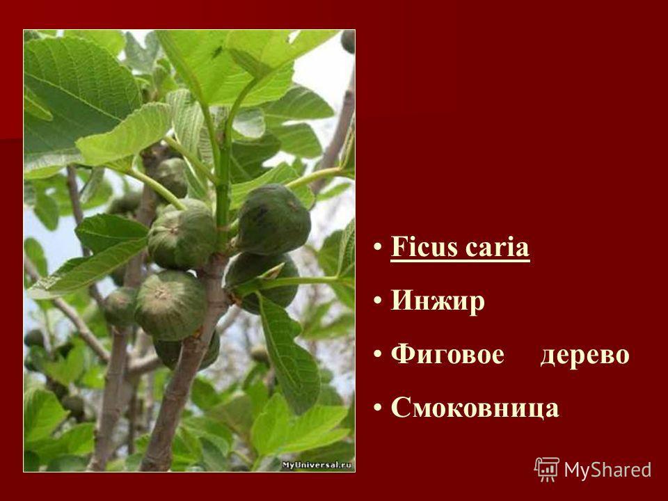 Ficus caria Инжир Фиговое дерево Смоковница