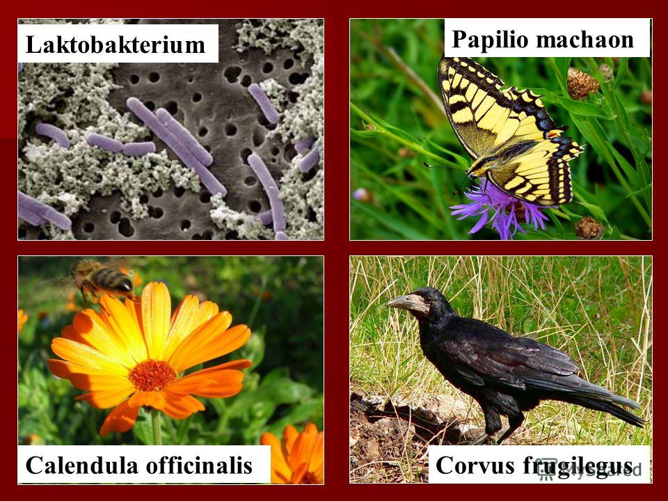 Laktobakterium Calendula officinalisCorvus frugilegus Papilio machaon