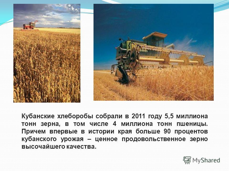 Кубанские хлеборобы собрали в 2011 году 5,5 миллиона тонн зерна, в том числе 4 миллиона тонн пшеницы. Причем впервые в истории края больше 90 процентов кубанского урожая – ценное продовольственное зерно высочайшего качества.