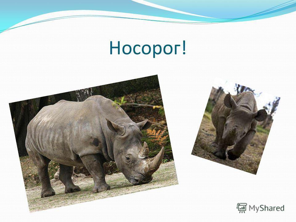 Носорог!
